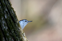 nuthatch in berkshire